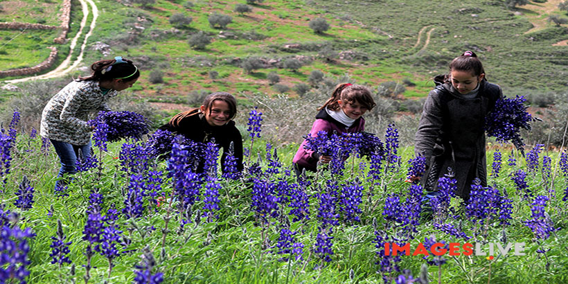 A Palestinian collects Anemone Coronaria and Violet roses at a field in the West Bank village of Sarrah near city of Nablus. Feb 25, 2016. /Mohammed Turabi.